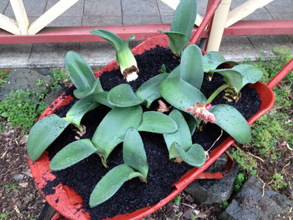 Haemanthus bulbs